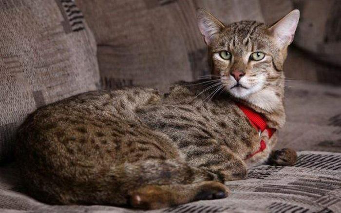 Самые большие домашние кошки в мире (ТОП-6)