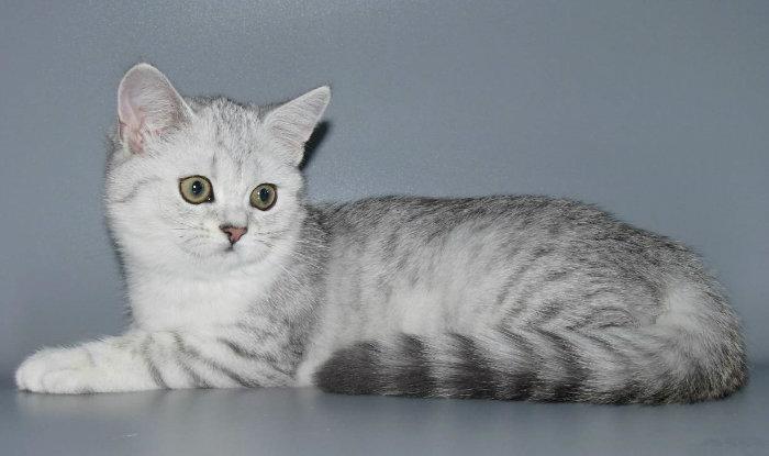 Шотландская прямоухая шиншилла кошка фото
