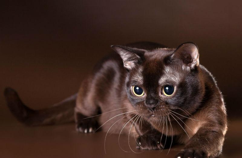 Порода кошек бурма: фото, описание, характер и особенности