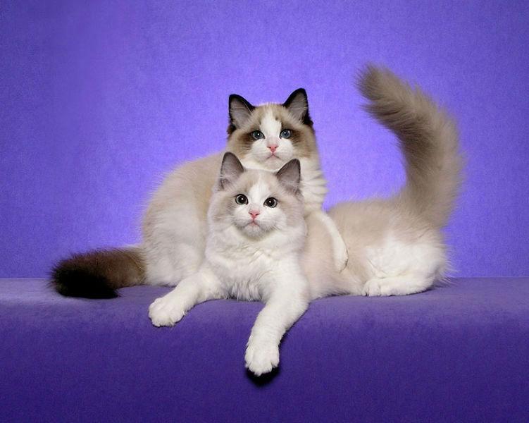 Порода рэгдолл мягкая игрушка или настоящая кошка
