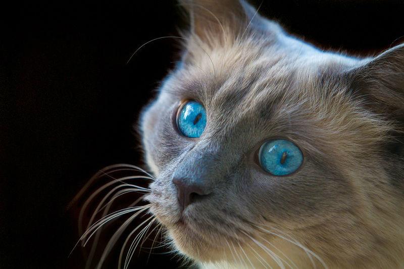Подробное описание породы кошек рэгдолл