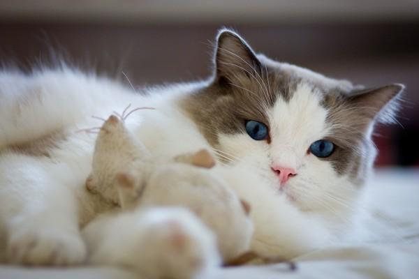 Рэгдолл кошки и коты