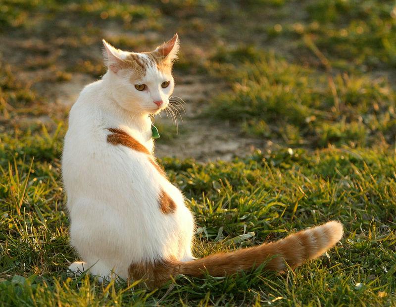 Турецкий ван: фото породы кошек