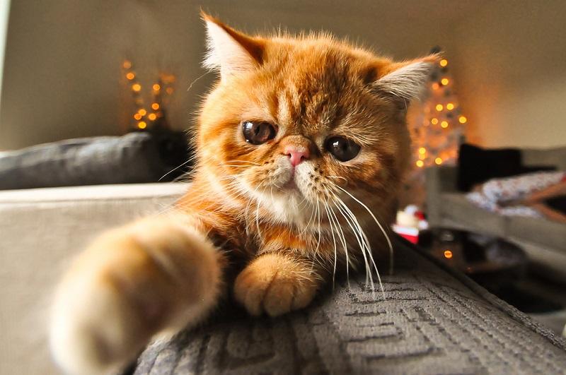 Порода кошек короткошерстный экзот: описание и фото
