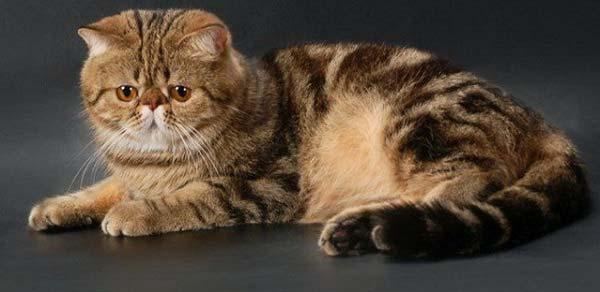 кошки фото экзот порода