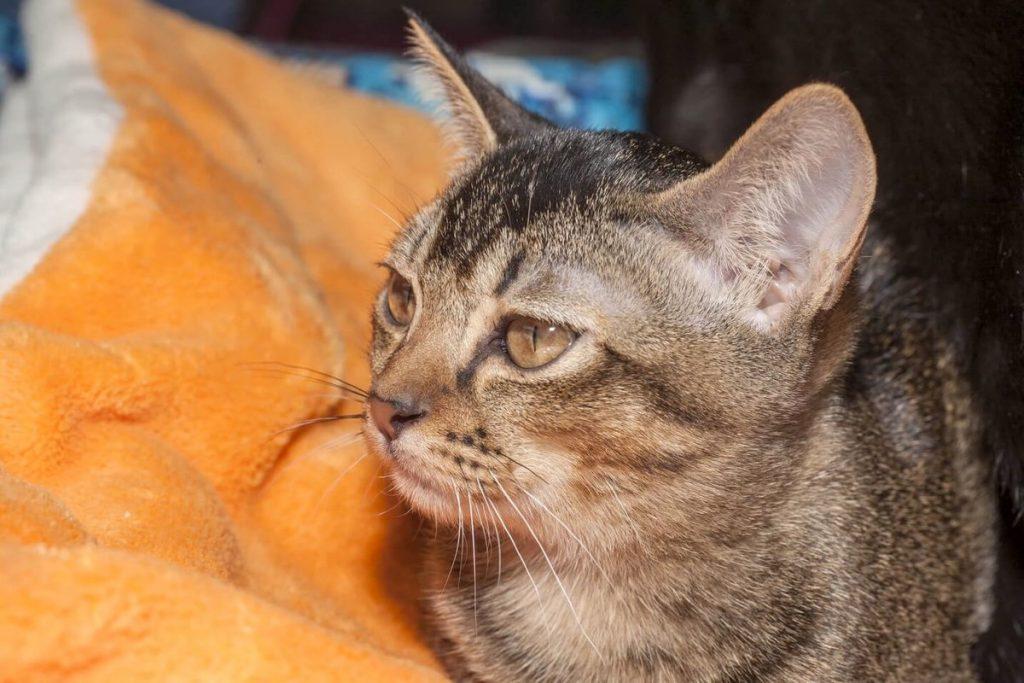 Азиатская табби характер кошки