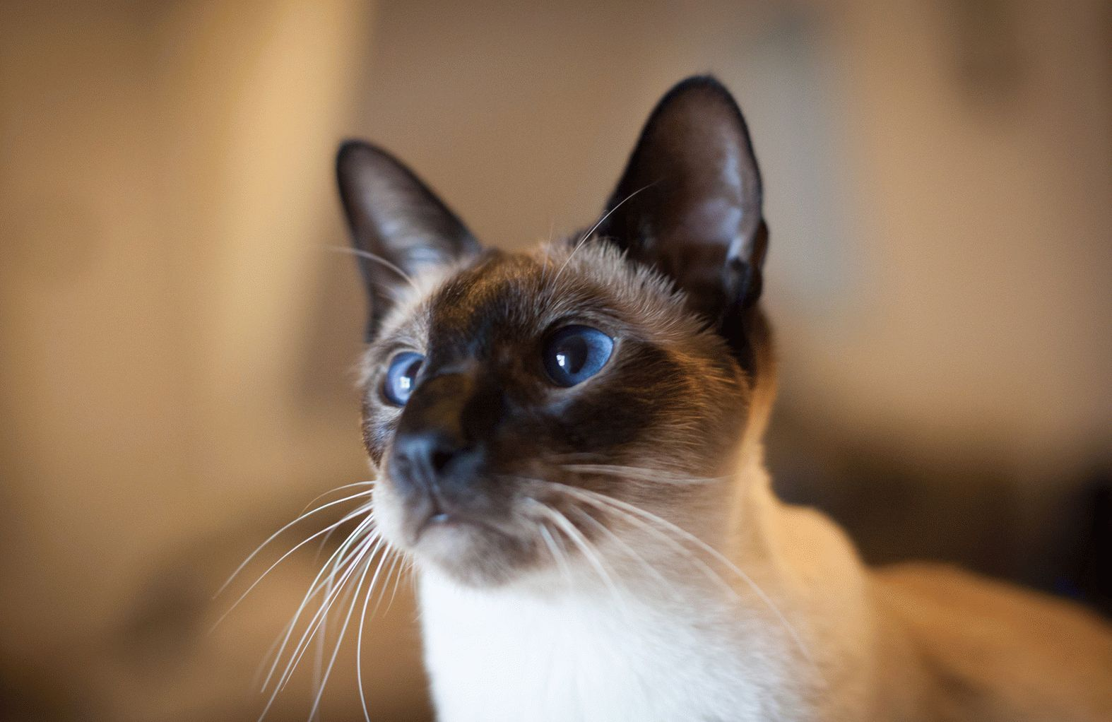 Картинки кошек породы сиамских
