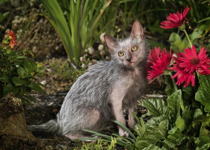Порода кошек - Ликои