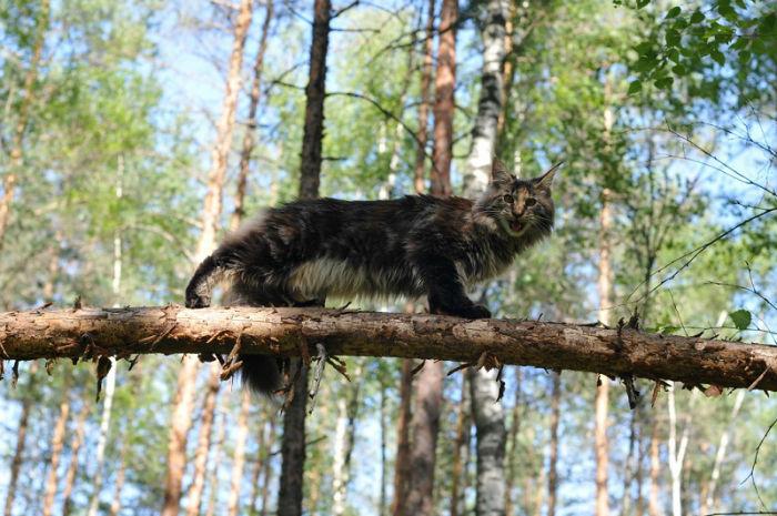 11-кот породы мейн-кун в лесу на дереве