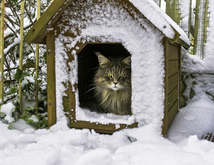 порода кошек мейн-кун