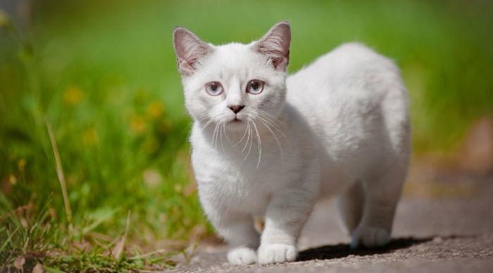 Порода кошек - Манчкин
