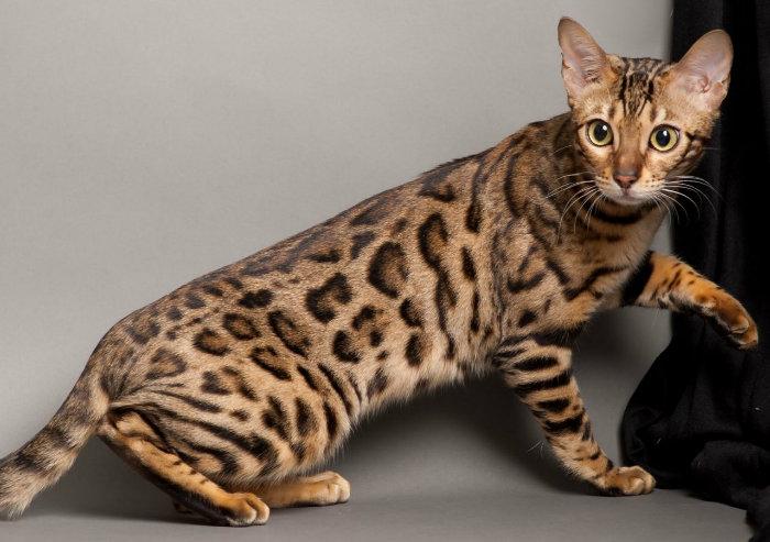 фото кошки породы ашера