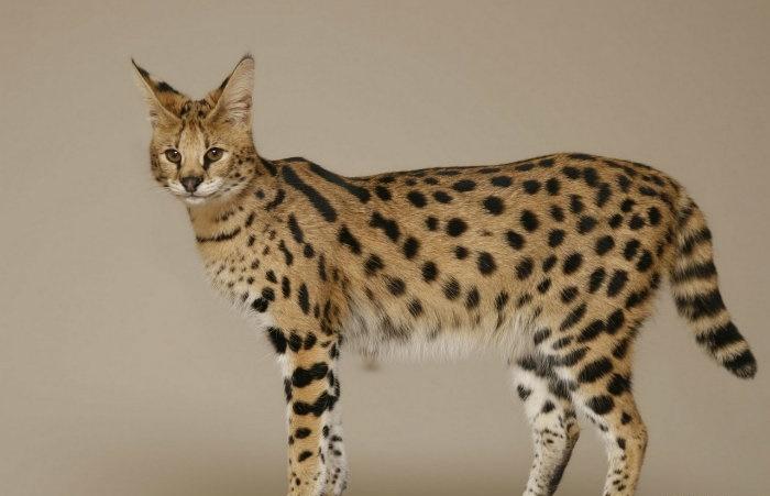 Порода кошек- Ашера