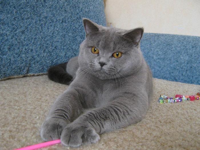 Порода кошек: Скоттиш Страйт