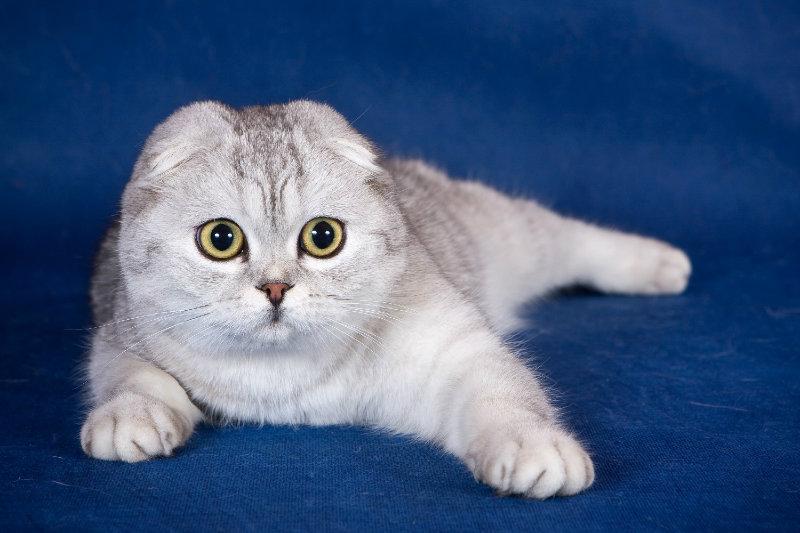 Порода кошек британская вислоухая