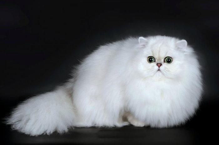 Порода кошек - Шиншилла