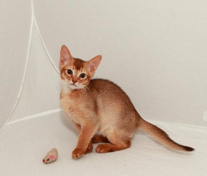 порода кошек Абиссинская